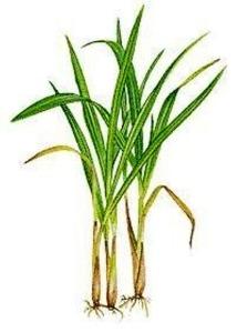 citronela-cymbopogon-winterianus-10-mudas-frete-gratis_MLB-O-5104937181_092013